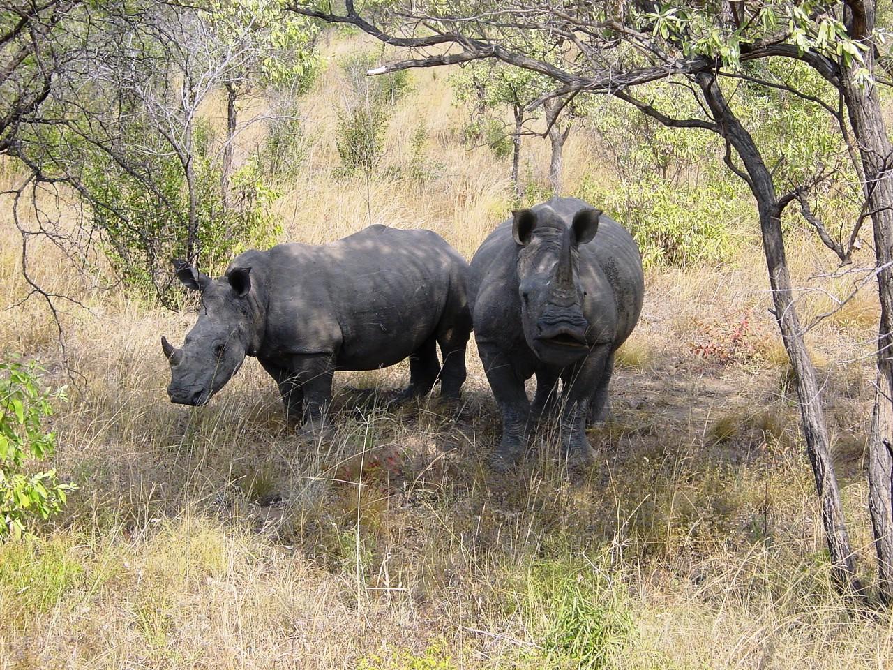 Ceratotherium_simum_Kruger_Park_03